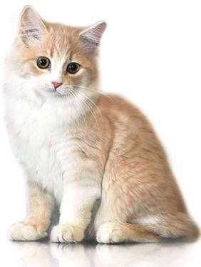 A Cymric Kitten