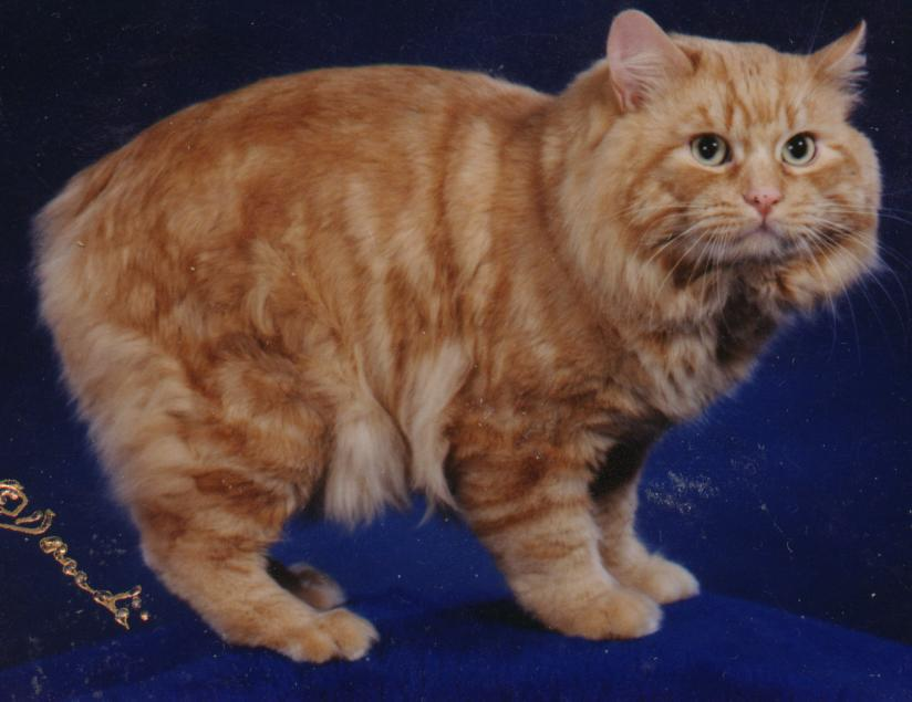 A brown and white Cymric cat