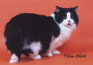 A Black and White Cymric cat