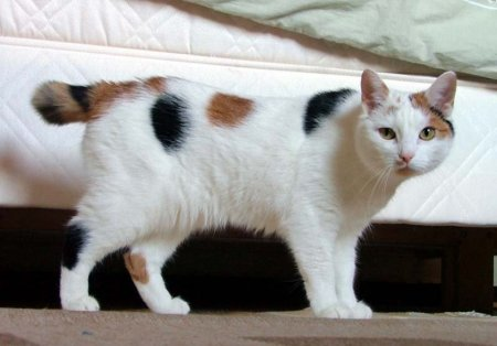 A brown, white and black Manx cat