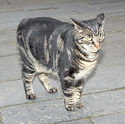 "A grey and white Manx cat with a ""rumpy"" tail"