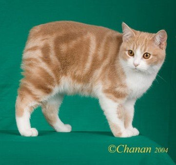 "A brown and white Manx cat with a ""rumpy"" tail"
