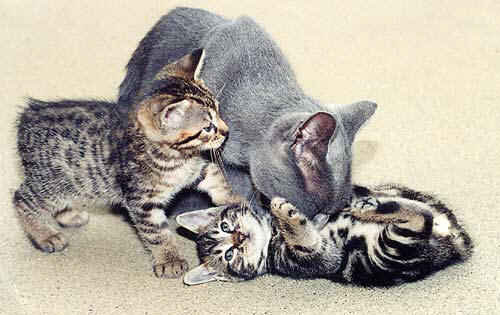 A Manx Cat with Manx Kittens