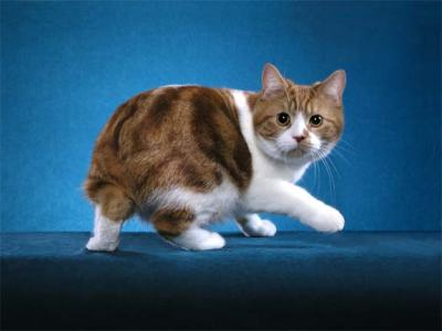 "A Manx Cat with a ""Rumpy"" Tail"